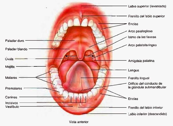 Corte frontal a través de la laringe. Glándula tiroides y ...