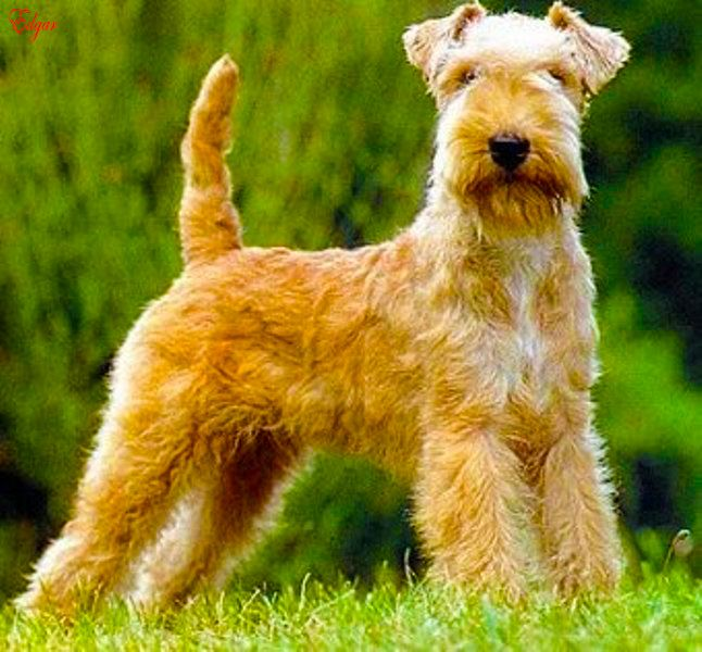Lakeland Terrier Great Britain Lakeland Terrier Terrier Dog Breeds Dog Breeds