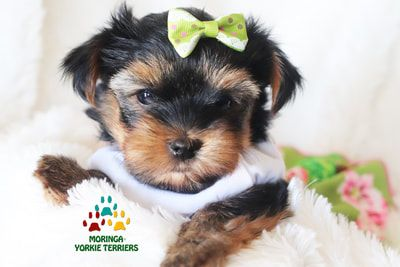 Available Micro Teacup Yorkies* Toy Yorkie Puppies* Yorkie Terrier Puppies *Parti Yorkie Pup… in 2020 | Yorkie puppy for sale. Teacup yorkie ...
