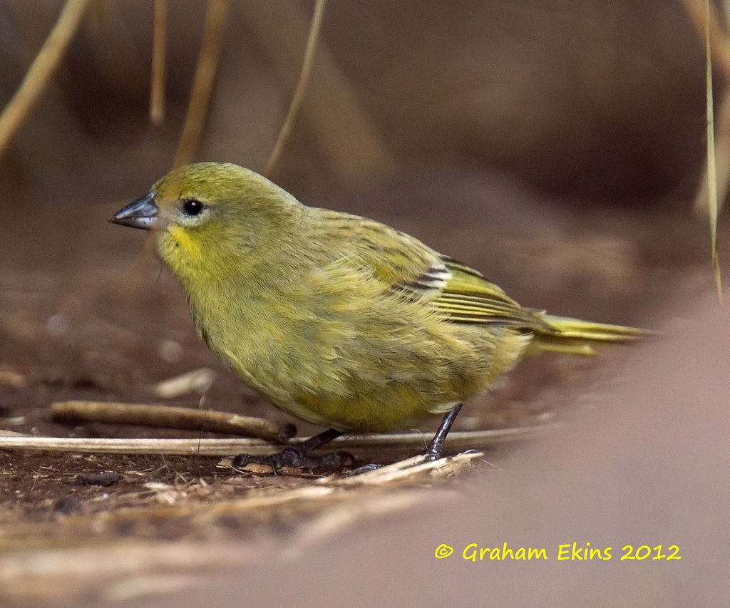 Inaccessible Bunting or Inaccessible Island Finch (Nesospiza acunhae)