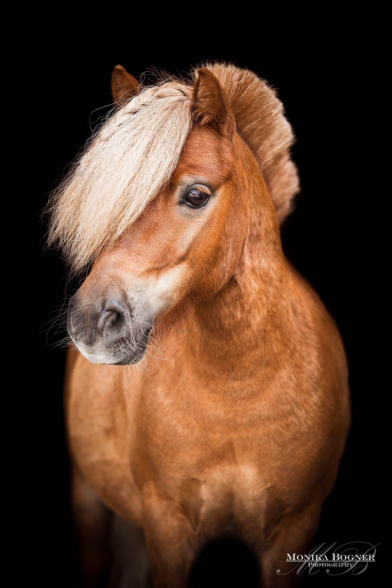 Pony Klassische Pferdeportraits Vor Schwarzen Hintergrund Monika Bogner Photography Pferde Fotografie Pferde Pferdefotografie