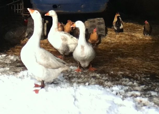 Geese and hens hiding in the calf shed from the snow. In this pic are Elvis, Alan and Jesus (pronounced hey sous) the only goose who managed to drown!