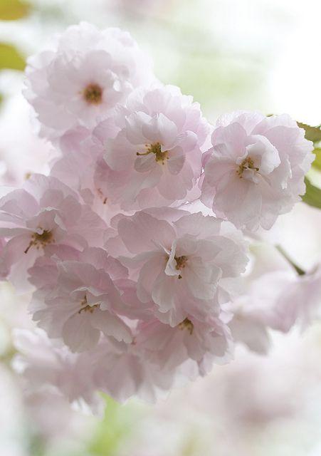 Sakura Very Beautiful Flowers Wonderful Flowers Beautiful Flowers