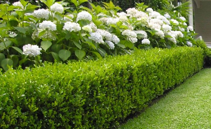 Hydrangeas and buxus hedge | Gardening | Pinterest | Buxus ...