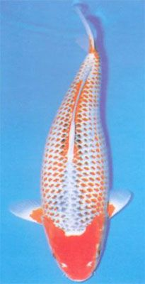 Hi asagi asagi koi pinterest koi and animal for Asagi koi fish
