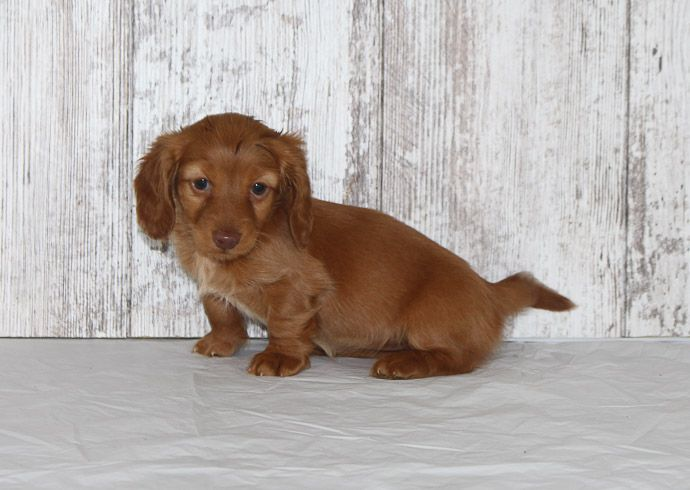 Rea a female AKC Dachshund puppy for sale in Shipshewana