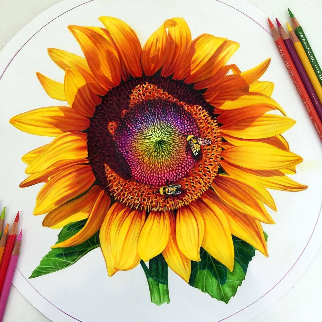Colored Pencil Sunflower Sketches Sunflower Drawing Color Pencil Drawing