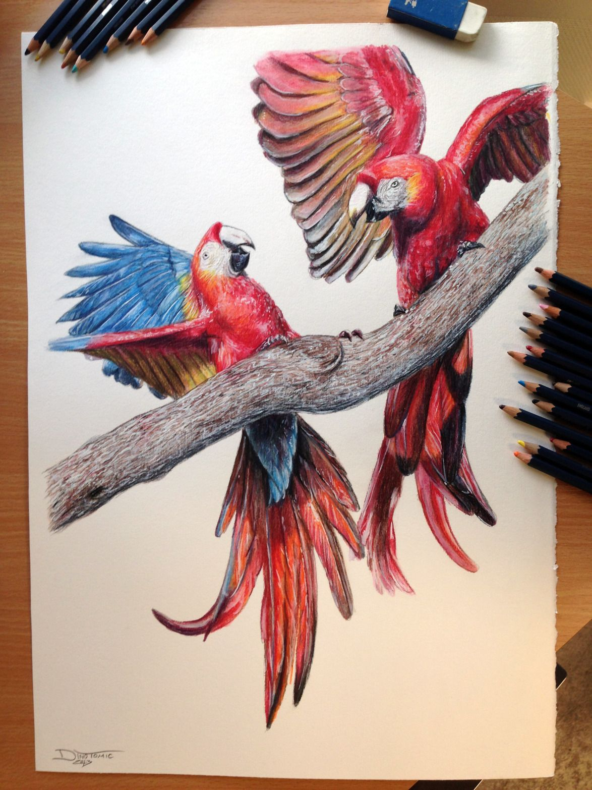 Realistic red parrots macaws drawing art color pencil sketch