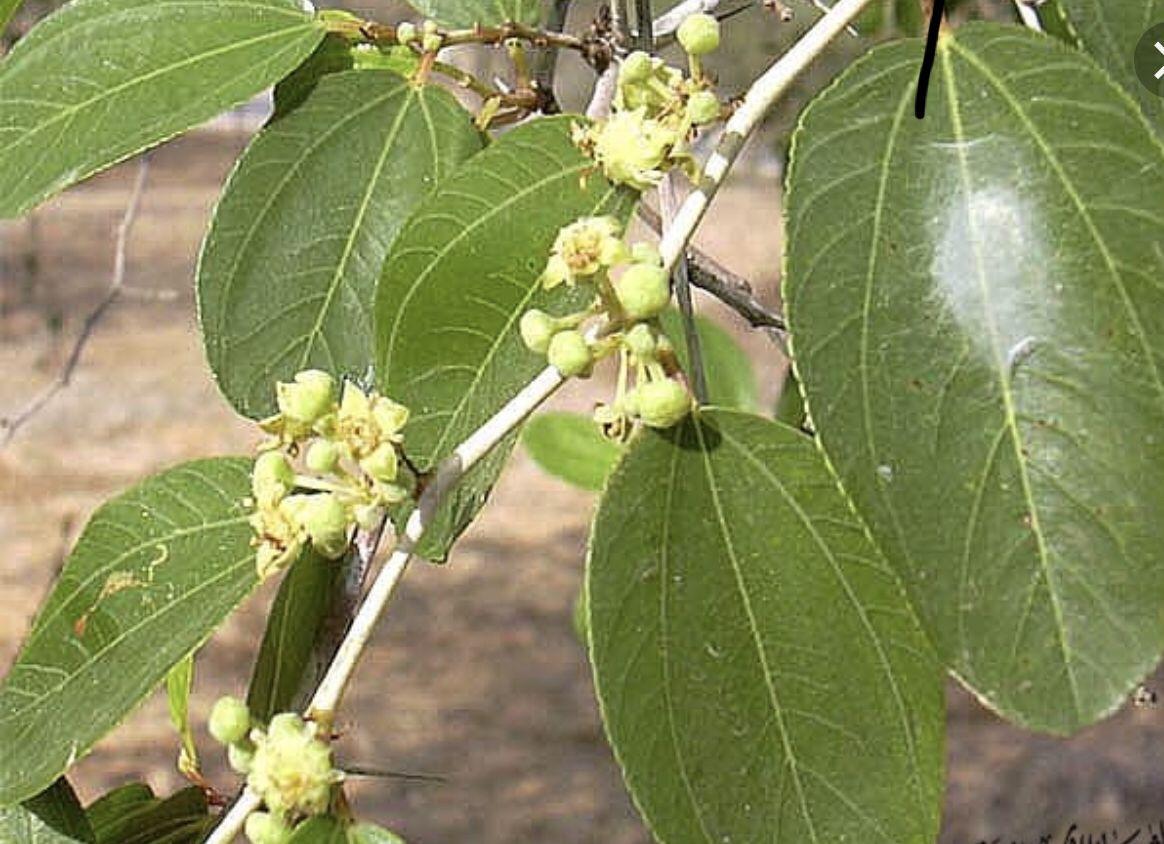 السدر المطحون يستخدم في علاج تساقط الشعر Plant Leaves Plants Leaves