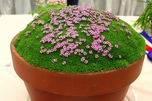 Silene Acaulis Pedunculata Alpine Plants Flowers Plants