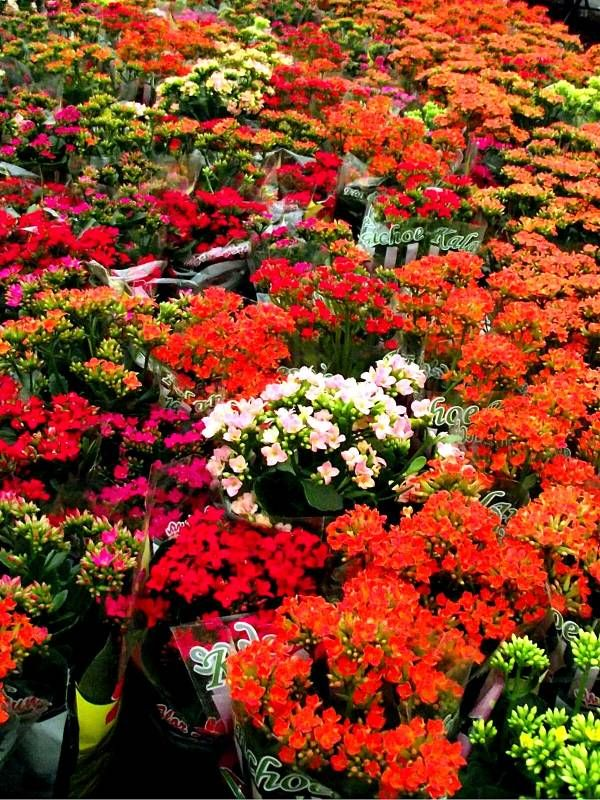 Kalanchoes Como Cuidar Flores Cultura Mix Jardim Pinterest