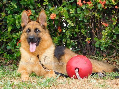 German Shepherd Dog Puppy For Sale In Miami Fl Adn 28651 On