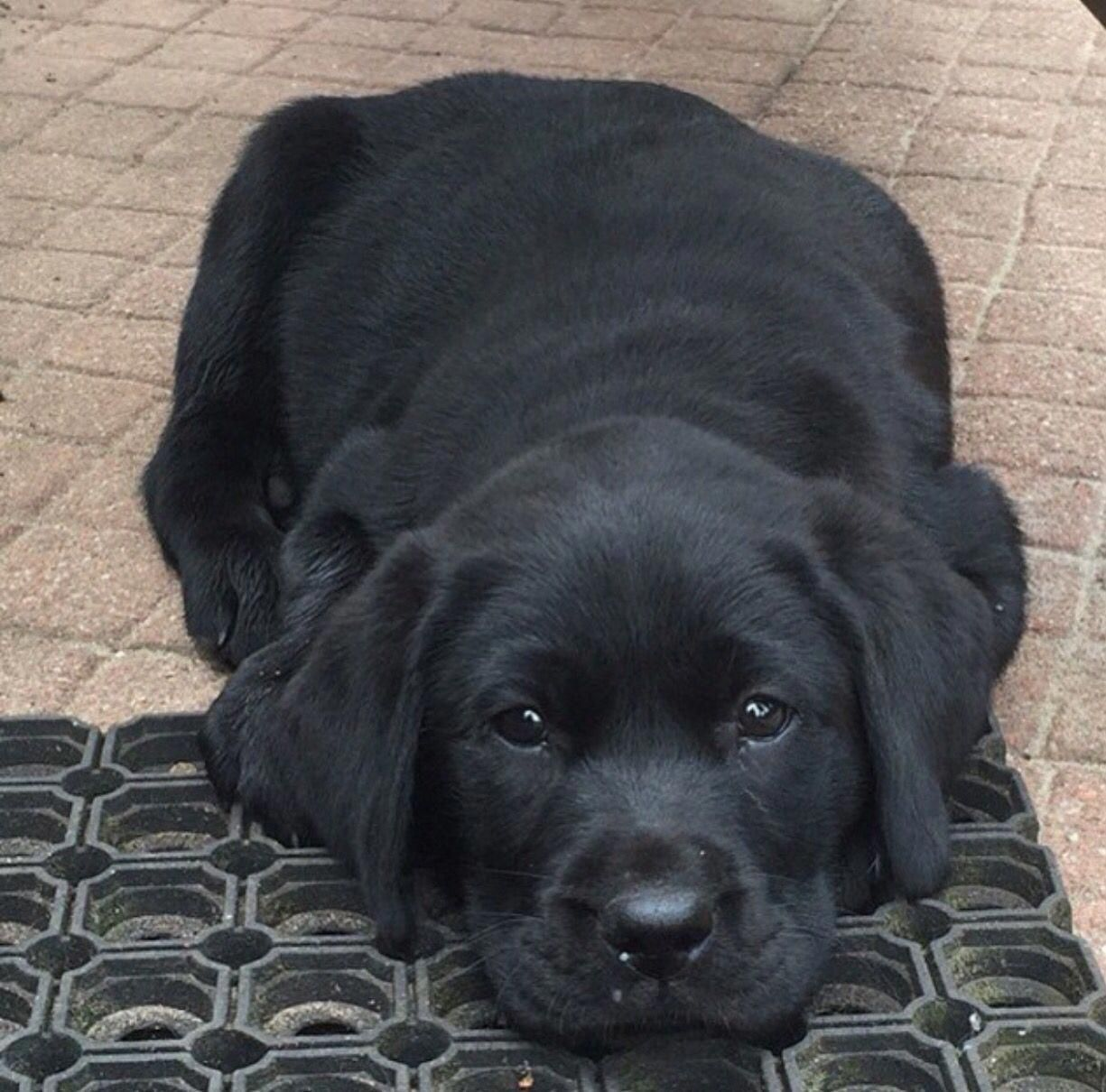Awesome Labrador Pups Detail Is Readily Available On Our Web Pages Read More And You Wont In 2020 Black Labrador Retriever Labrador Retriever Labrador