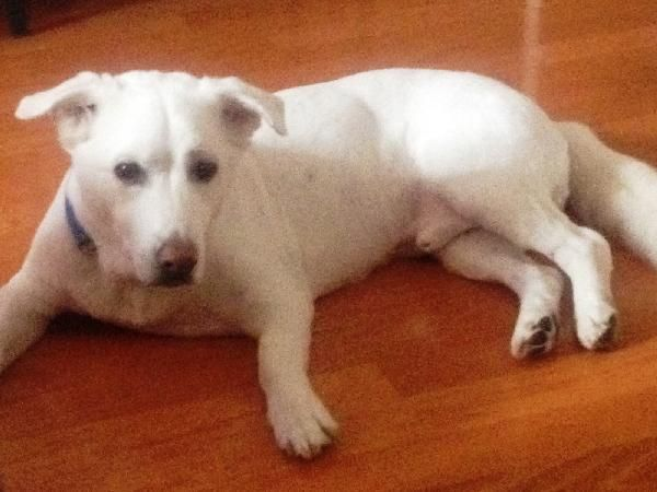 Lab/ white dog lost in Sugar Land Snoopy is a