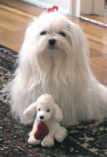 Maltese Goat Maltese Biancadog Dog Breed Info Center Dog