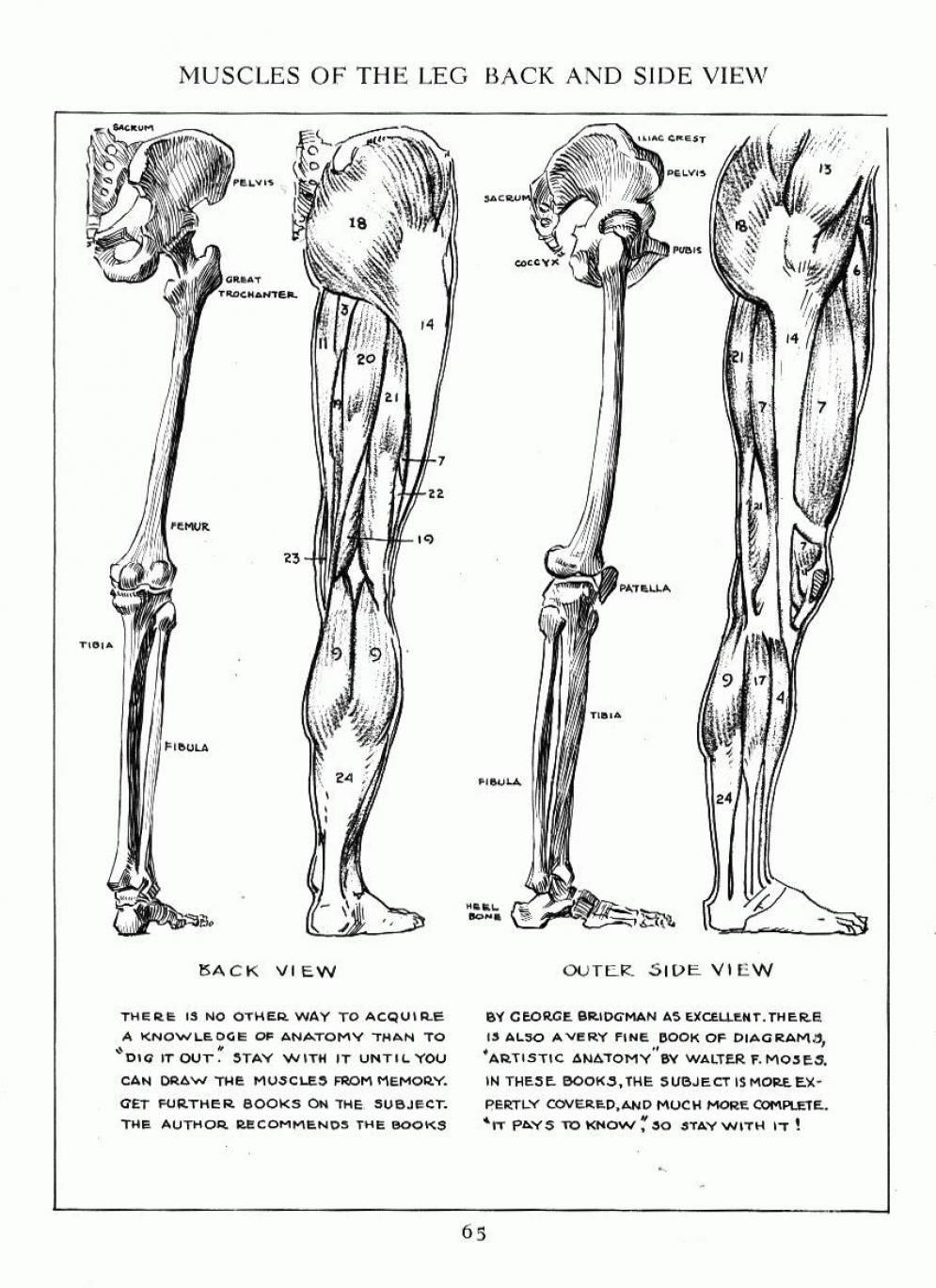 Leg muscle, side and back view. | Art Instruction: Human Anatomy and ...