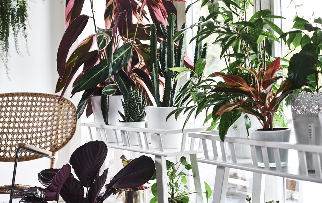 Colorful Plants On Plant Stands In Front Of A Window And Wicker Chair