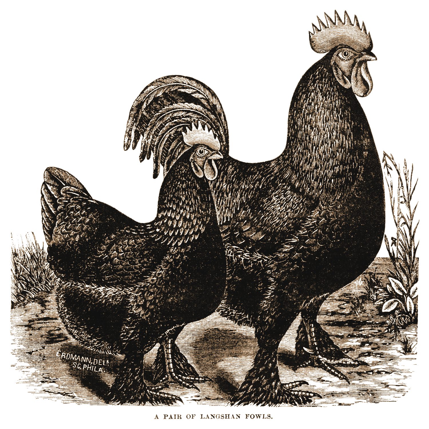 picture about Free Printable Pictures of Roosters named Totally free Printable Hen This is the impression applied inside the tags