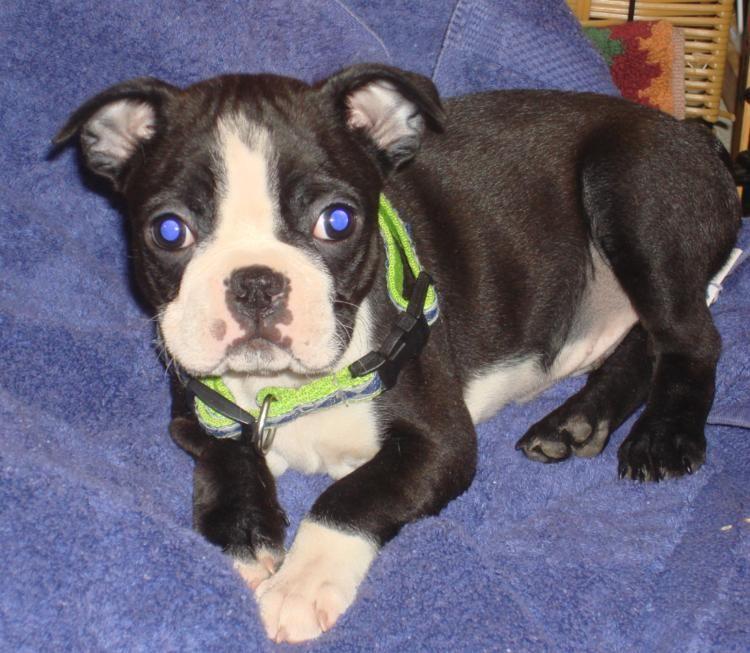 Mosby - 8 week old boston terrier puppy. (Boston Terrier)