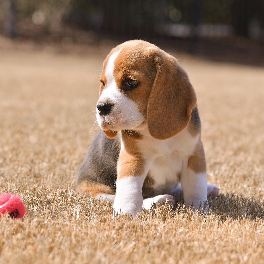 Beagle Puppy Bell Beagle Puppy Bella Beagle Puppy Cute