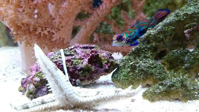 Mandarin Dragonet Meets A Sand Sifting Starfish Marine Fish Starfish Fish