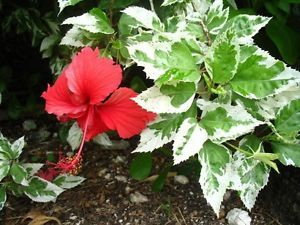 Tropical Hibiscus Plant Snow Queen Variegated Green White Leaves Red Bloom 4 Hibiscus Plant Plants Flower Landscape