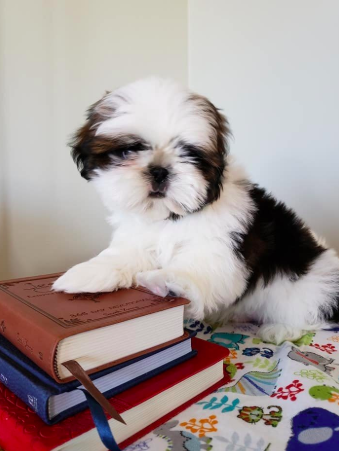 Have You Been Thinking About Adopting A Shih Tzu This Is Your Sign Click Here To Find Out More About Good Dog S Certified B Shih Tzu Puppy Shih Tzu Puppies