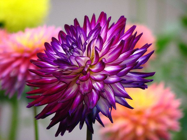 Deep Purple Dahlia With Images Purple Dahlia Dahlia Flower Pictures Dahlia Flower