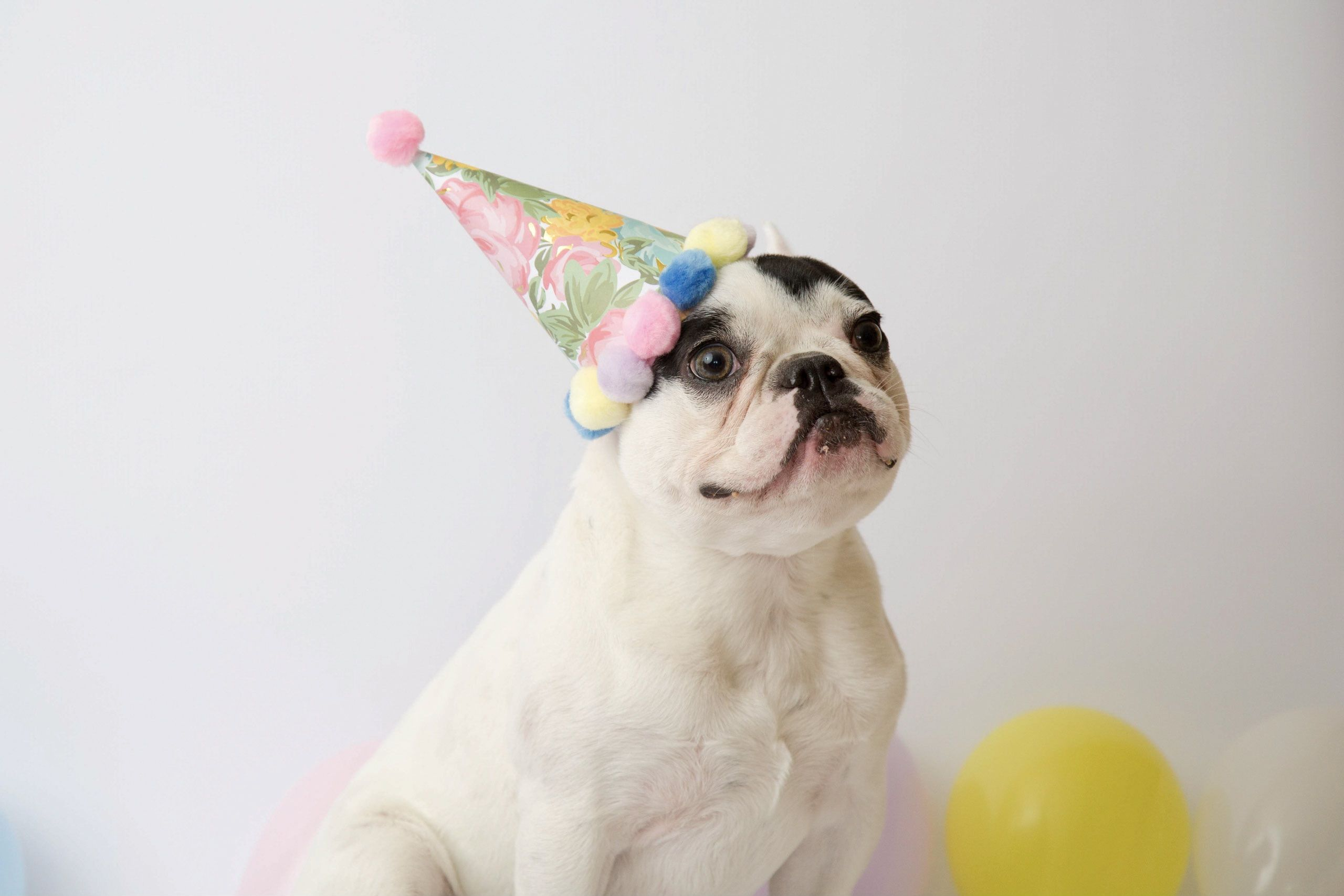 Fiona Birthday Dog Photoshoot With Holly Photography Jpg 2560x1707 Party Dallaspaws Dallas Bulldog