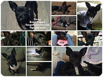 Hazel Park, MI Chihuahua Mix. Meet Roxy, a puppy for
