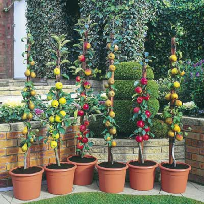Did You Know You Can Have Fruit Trees Growing On Your Balcony Garden Plant Pots Dwarf Fruit Trees Fruit Garden