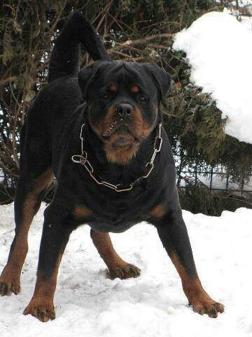 Love To See Rottweiler With My Long Tail Rottweiler Puppies