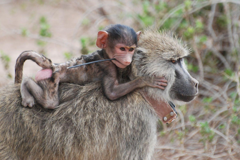 Baboons have Goldilocks group size, SBU's Markham finds | TBR News ...