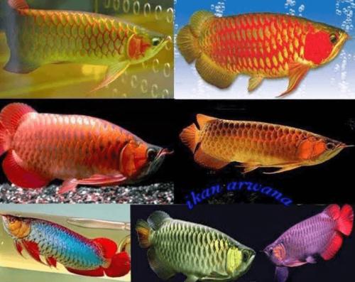 Panduan Merawat Ikan Arwana
