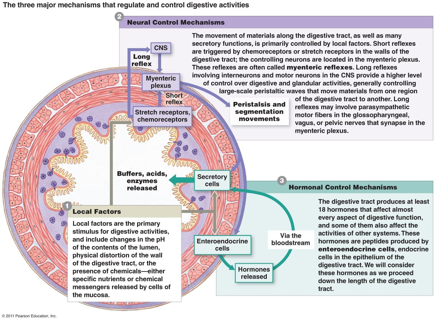Pin By Samantha Seager On Anatomy Amp Physiology
