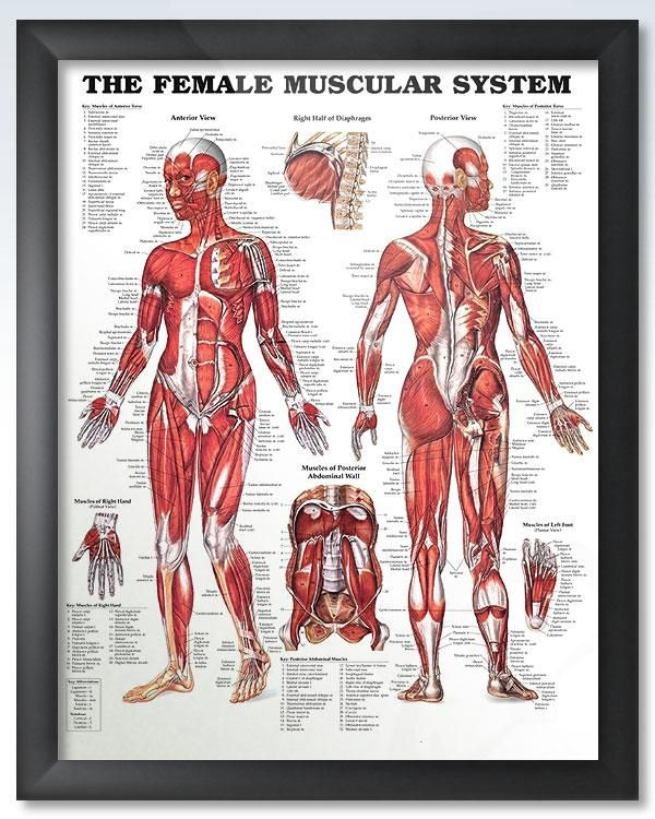 The Female Muscular System Chart 20x26 Doctors Anatomy Posters