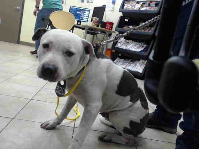 Tequila Id A523081 My Name Is Tequila I Am Male I Look Like A