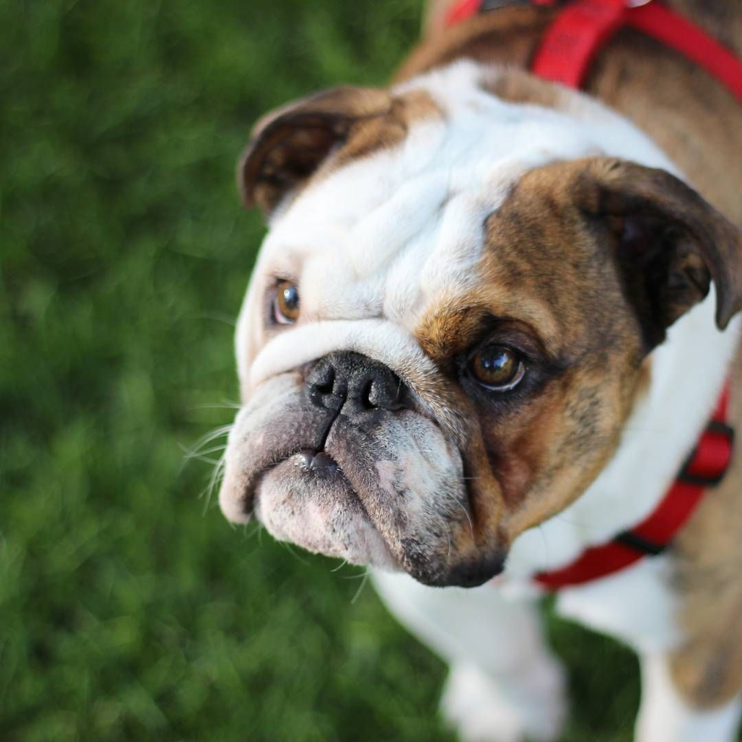 English bulldog with images bulldog funny bulldog