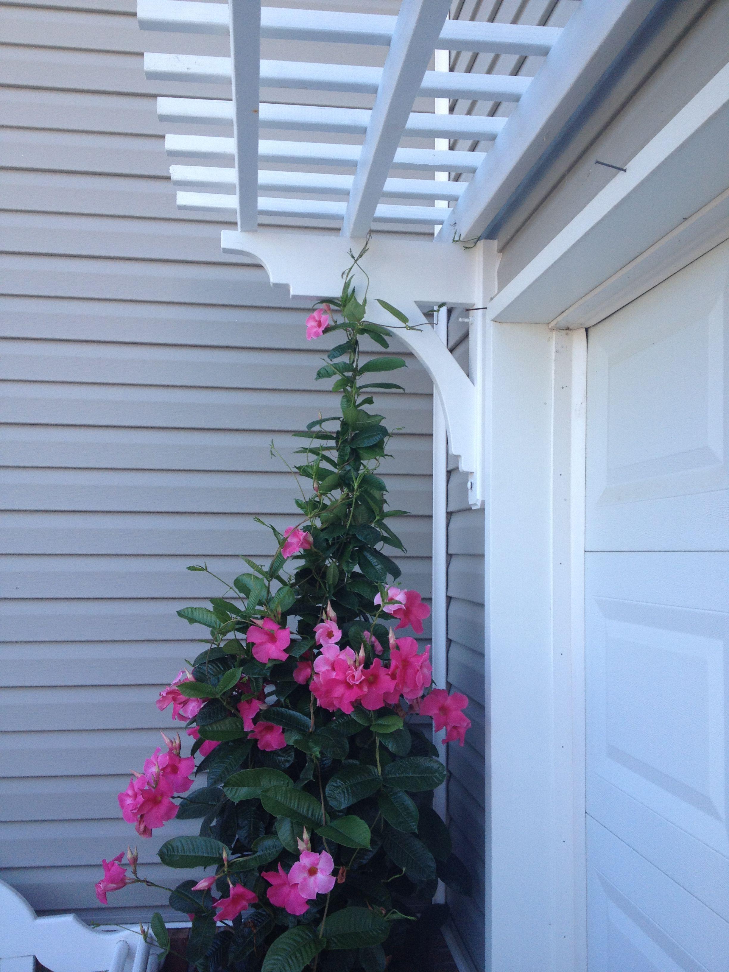 Arbor Over Garage Door With Mandevilla Vine Completed