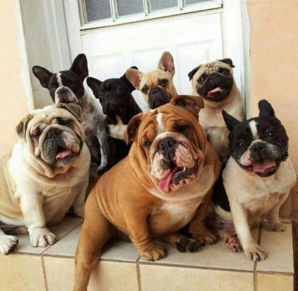 French English Bulldog Pinch Of Pug Awesome Bulldog Cute