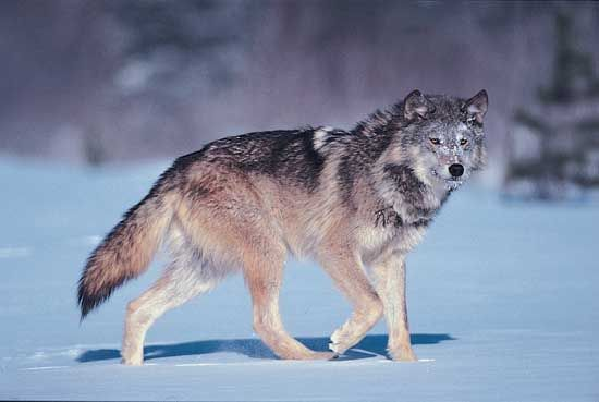Gray Wolf Mammal Predators And Prey Grey Wolf Wolf Pictures Animals