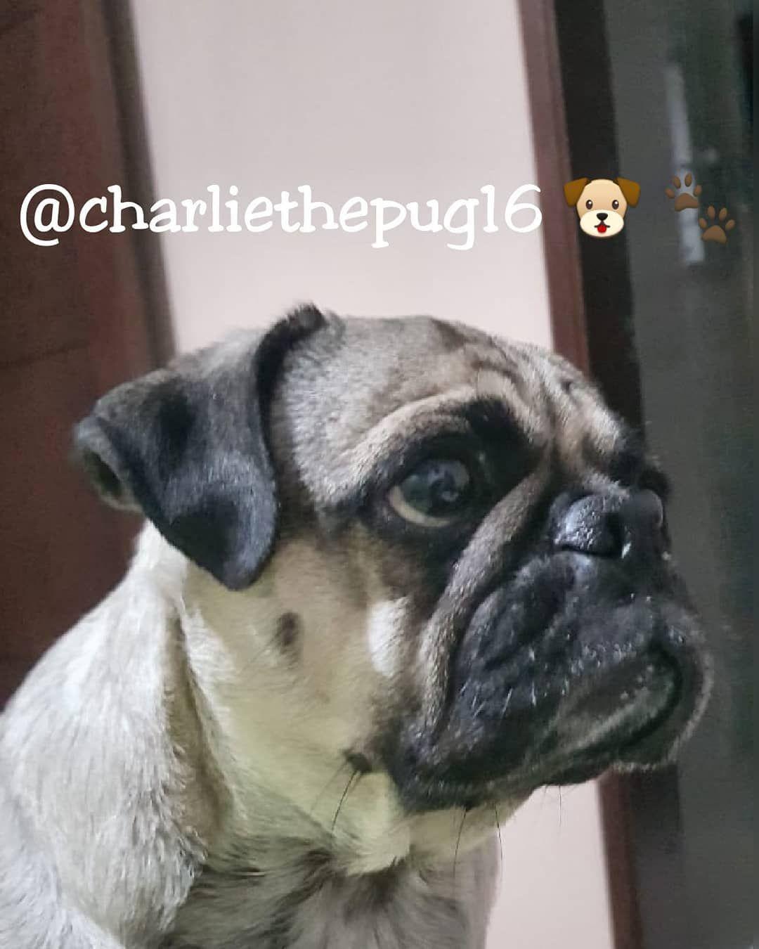 Charliepug Pugdog Pug Pugstagram Puglife Instapug Pugworld