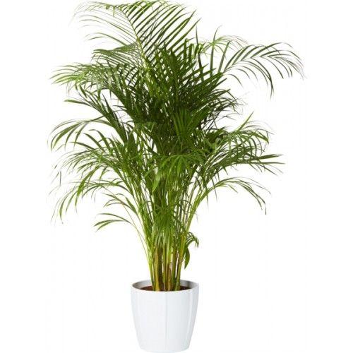 stor palm inomhus