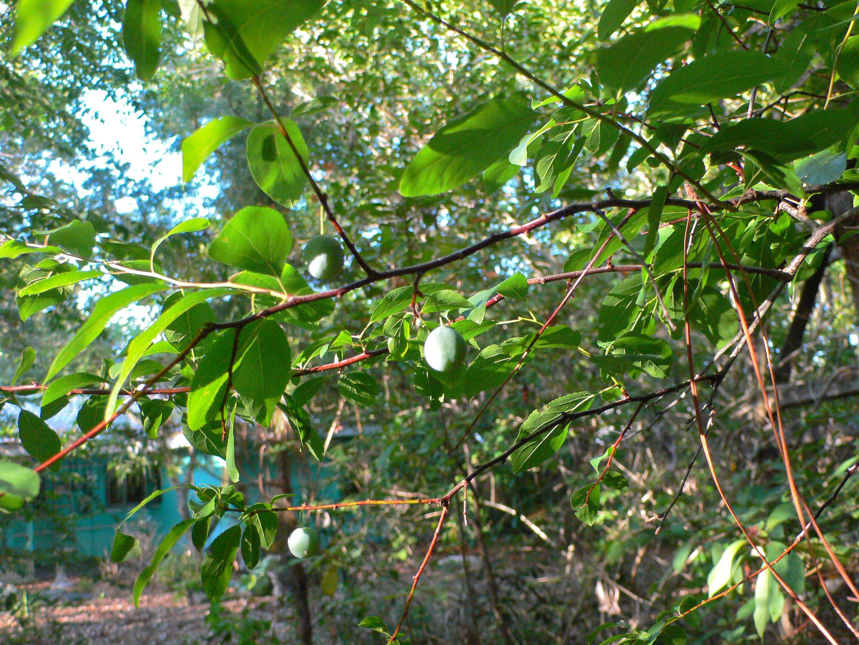 Fruit Tree Nurseries In Florida Thenurseries
