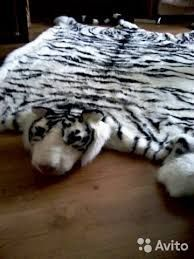 Картинки по запросу шкура белого тигра