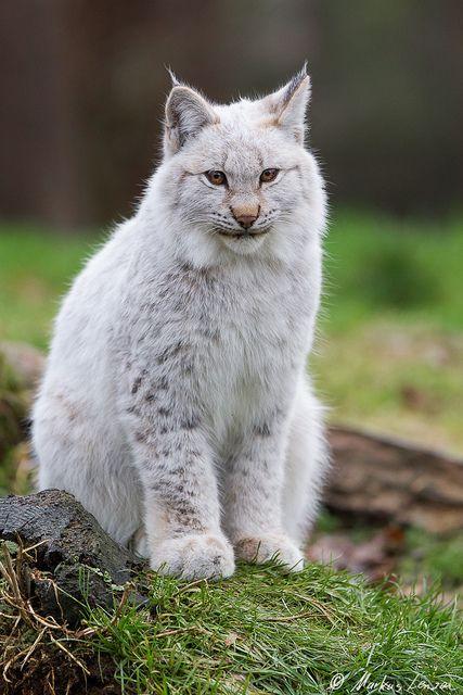 Markus Lenzen luchs jungtier img 0579 lynx cat and