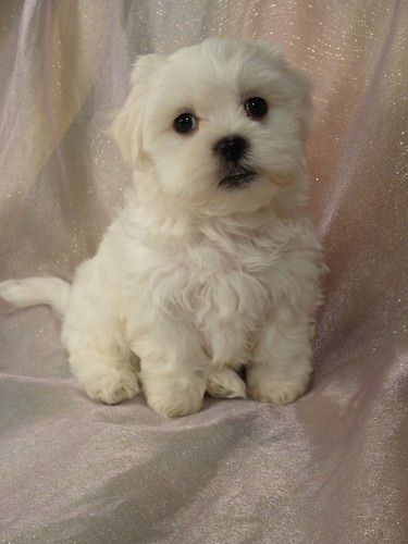 Shih Tzu Bichon Mix The Puppy I Will Be Getting For My Munchkins 3