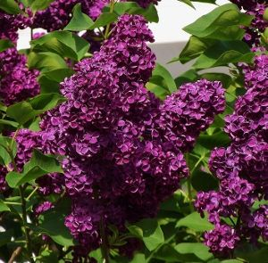 PLANT QUART DORMANT LILAC SYRINGA /'MONGE/' FRAGRANT