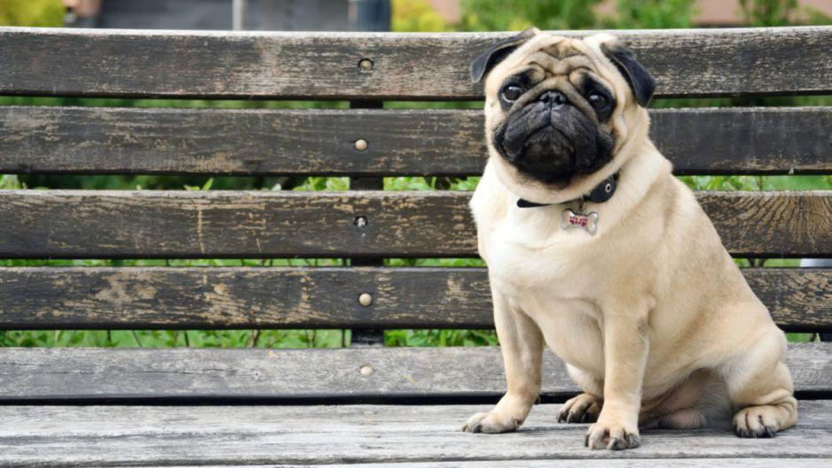History Of The Pug Pug Dog Dogs Pug Pug Dogs Pugs Dogs