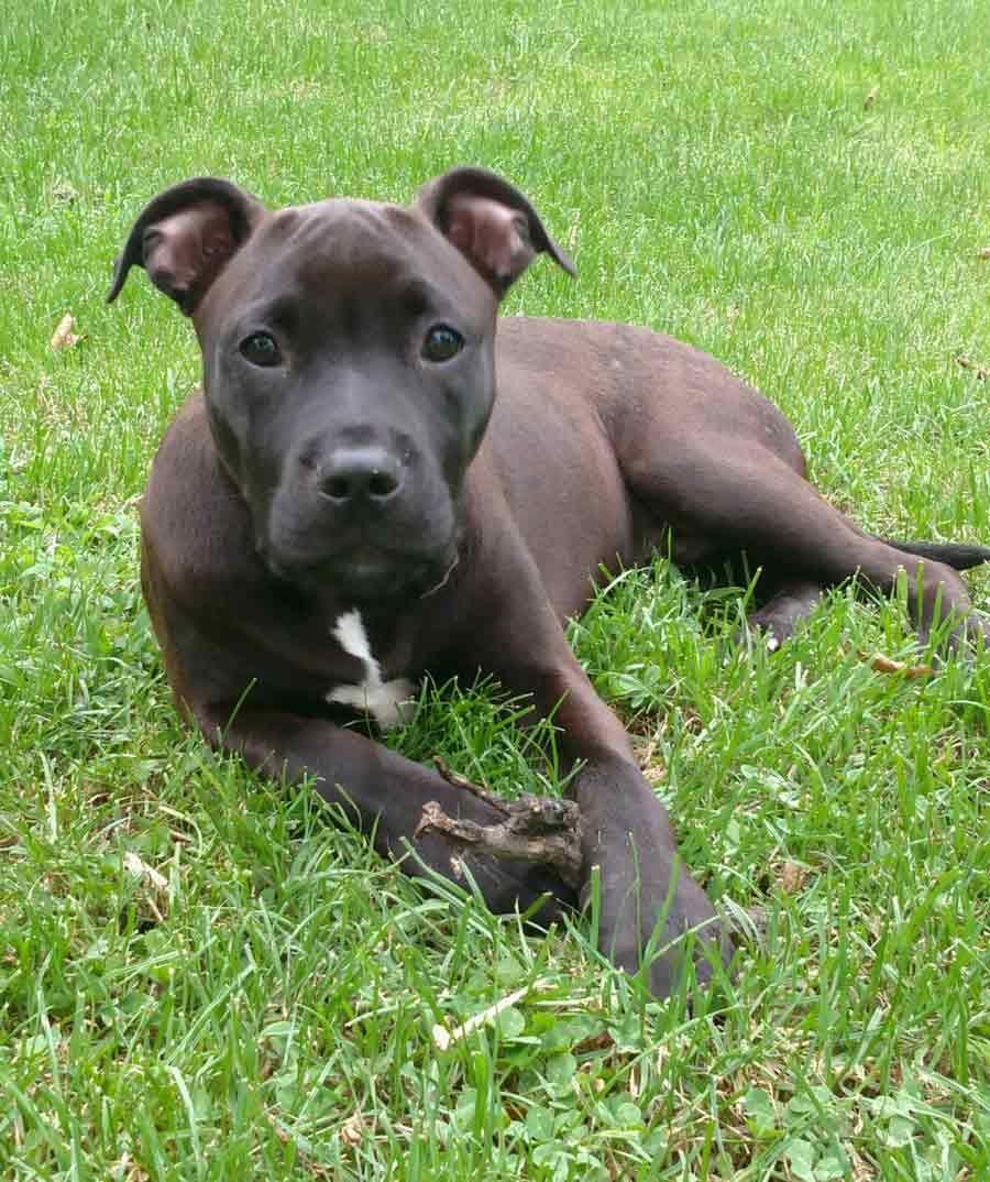 Walt the American Staffordshire Terrier, Labrador Mix (B